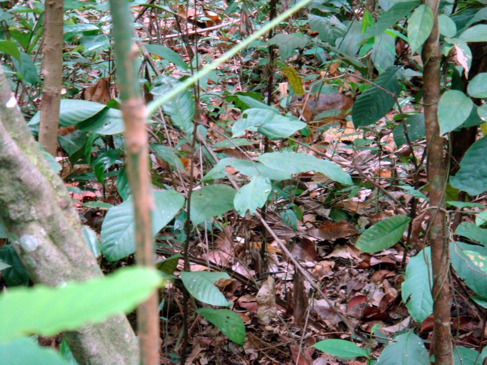 Lesser mousedeer 1